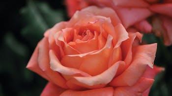 Floriculture Solutions, floriculture, rose, perennial cultivation properties, grodan