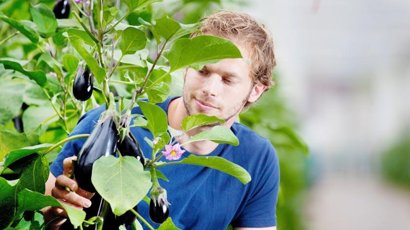 vegetable solutions, substrate slabs, vegetable, growing, Eggplant, grodan