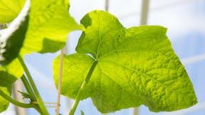 plantop, cucumber, leave, green, nature, grodan