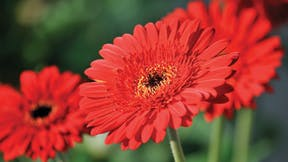 Floriculture Solutions, floriculture, rose, gerbera, perennial cultivation properties, grodan