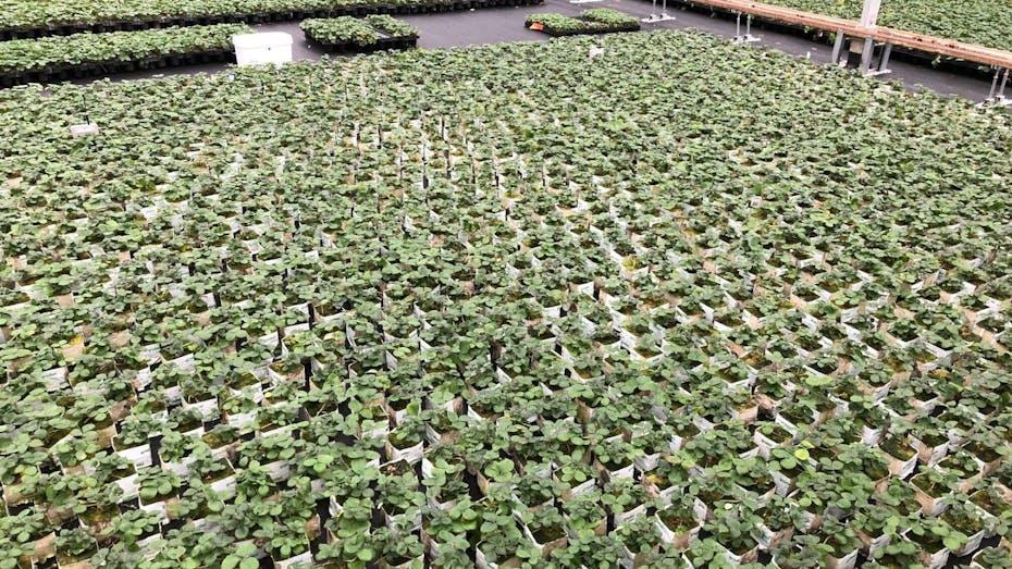 Strawberry propagation