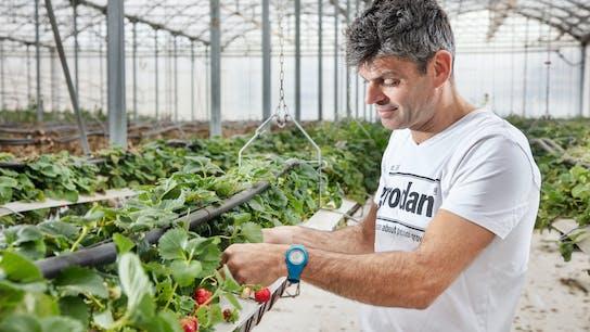 Grodan, greenhouse, grower, strawberries, GroSens, customer, Frédéric Garcia