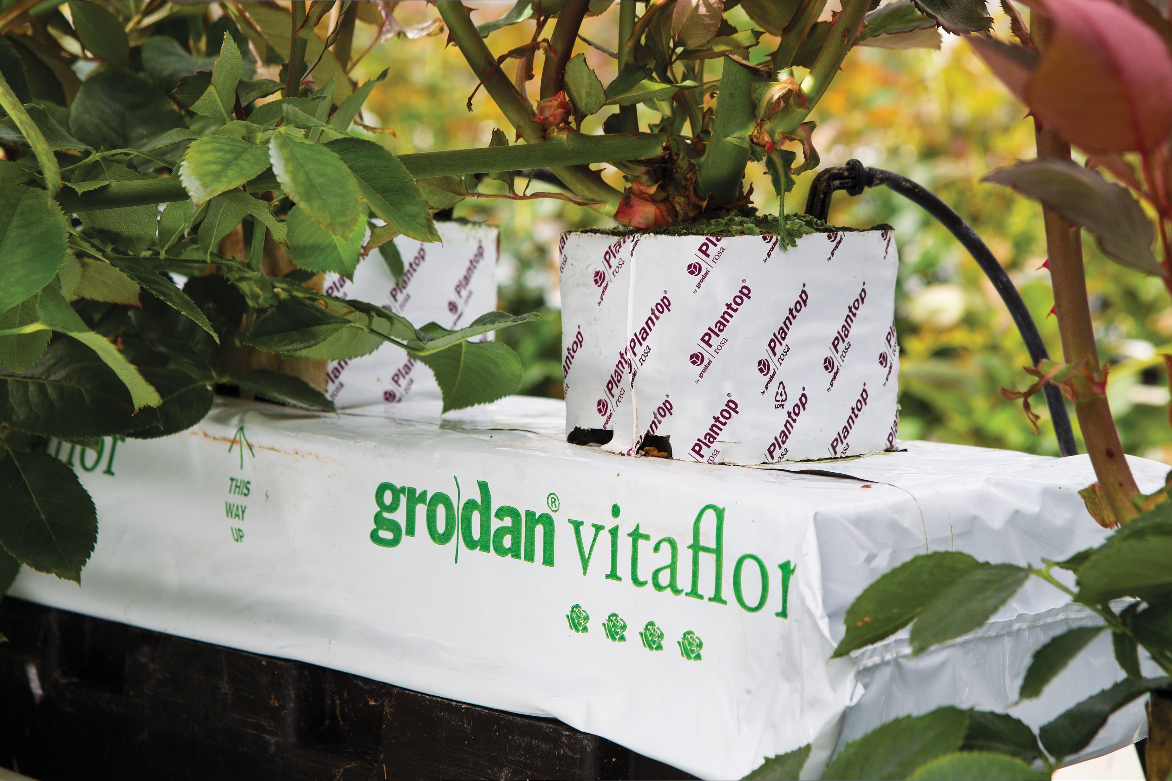 Floriculture Solutions, growth, quality, innovative, development,Grodan Vitaflor slab, rose greenhouse, grodan