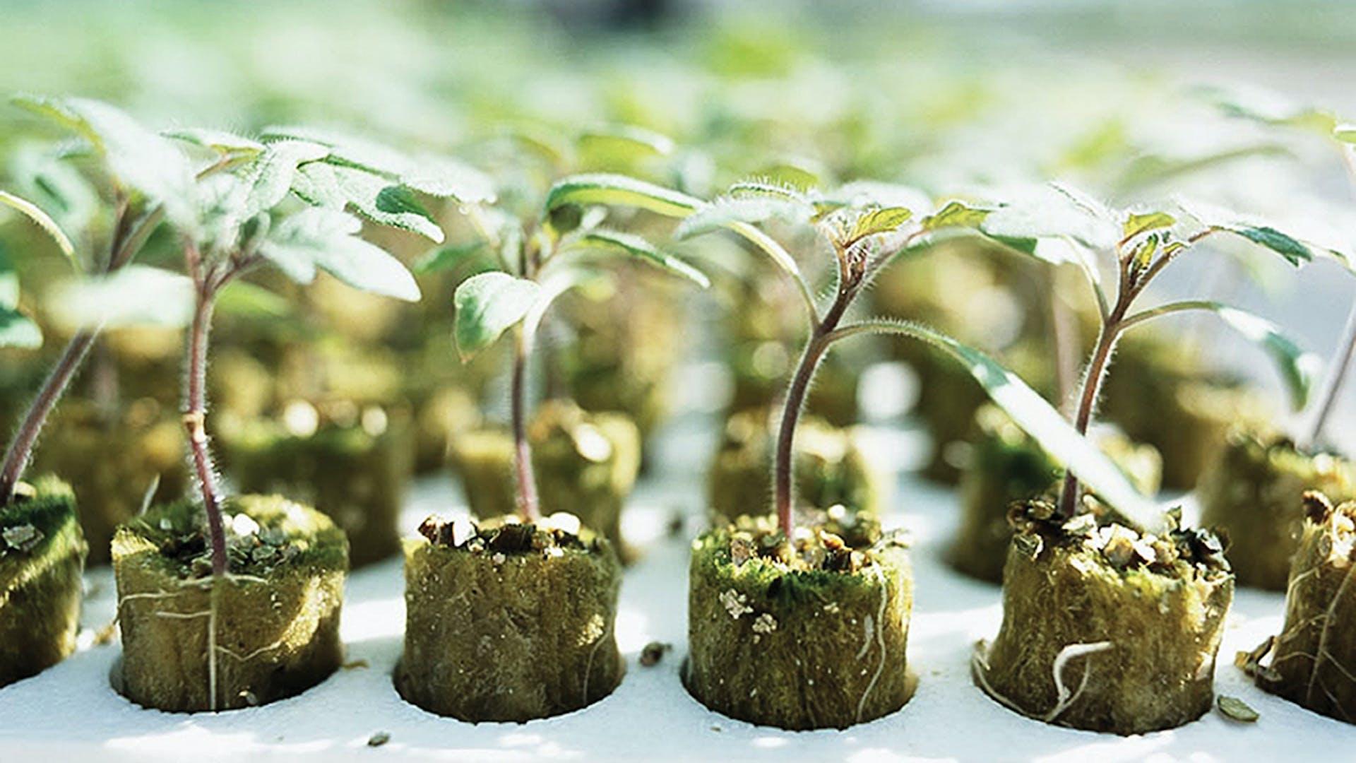 Propagation Solutions, growth, quality, innovative, development, Young plants, Grodan Groplugs
