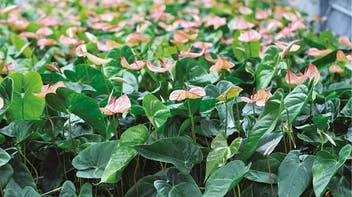 Floriculture Solutions, growth, quality, innovative, development, Anthurium plant, grown, Grodan Grocubes, grodan
