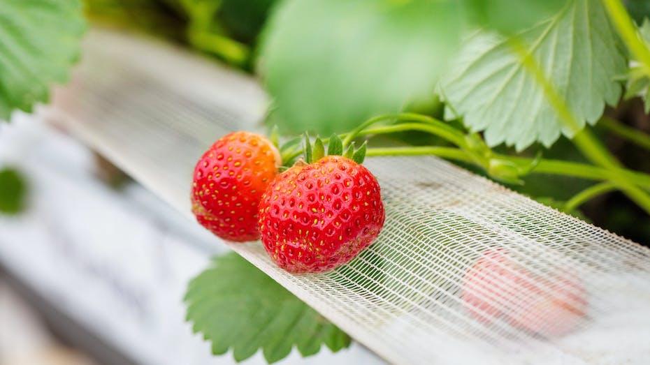 grower, strawberry, greenhouse, plants, slabs, leaf, grodan