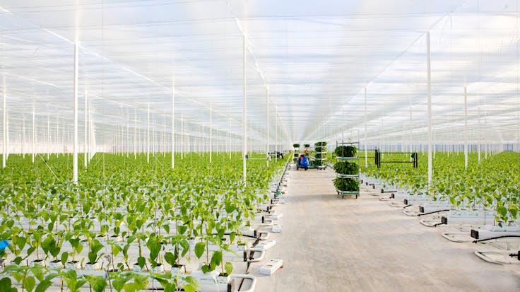 grodan, greenhouse