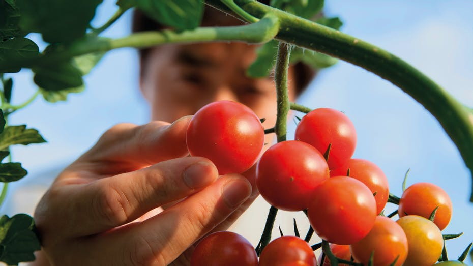resources, chinese man, tomatoes, grodan