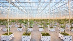 learning, young tomato, plants, grodan plantop, blocks, standing, greenhouse, grodan