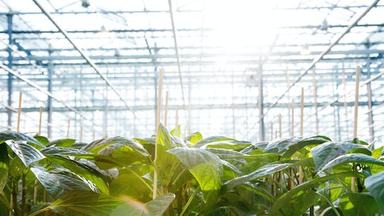 learning, dry sweet pepper, greenhouse, plants, 6-phase model, cultivation period, cultivation phase, grodan
