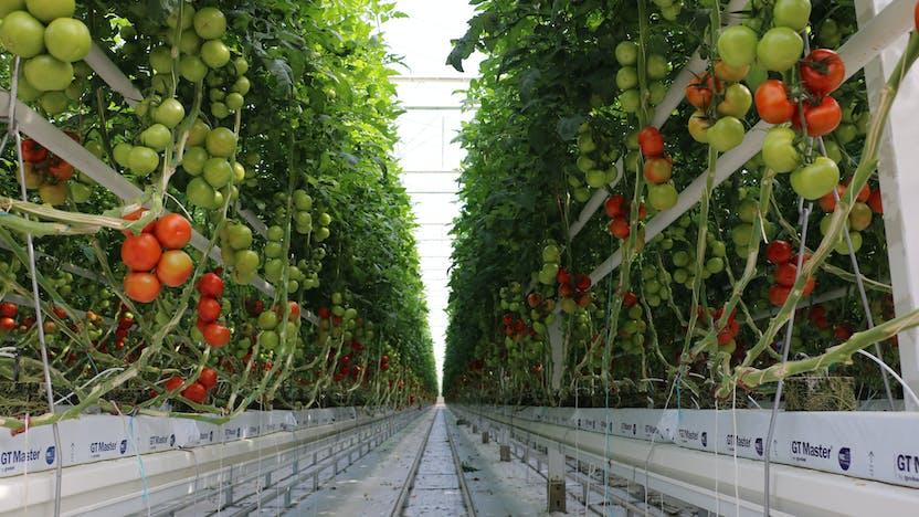 grodan, greenhouse, tomato, cover whitepaper