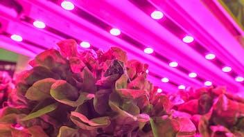 visual, led lighting, grow lettuce, inside