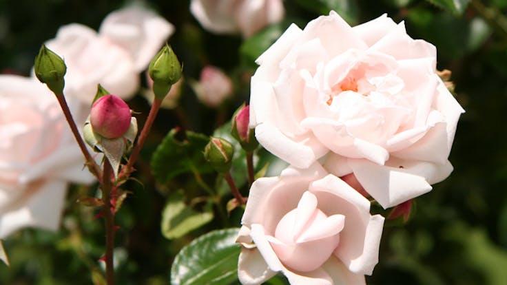 fences, flowers, rose new dawn, noistop steel, lapinus