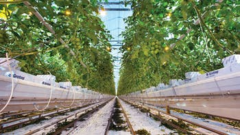 Dutch greenhouse with tomatoes grown in GRODAN