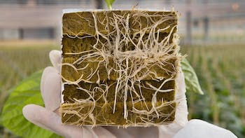 hand, holding, Grodan block, showing, bottom, roots, coming out, grodan