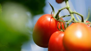 vegetable solutions, substrate slabs, vegetable, growing, tomato, Greenhouse vegetable production, grodan