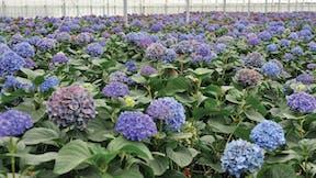 Floriculture Solutions, floriculture, Other Floriculture, perennial cultivation properties, grodan